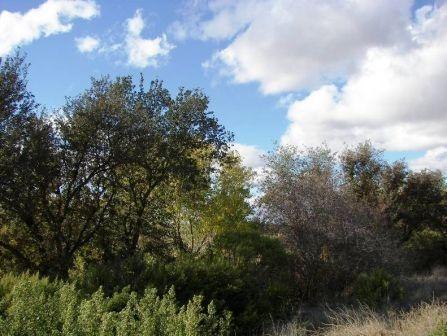 Cache Creek treetops